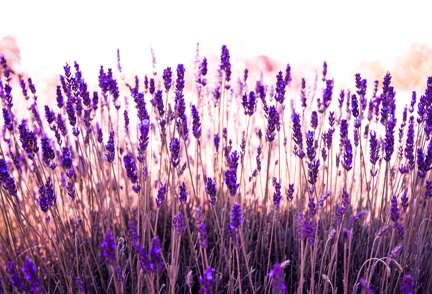Clairmont Lavender Farm